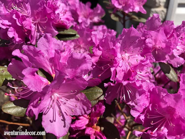 azalee-in-floare