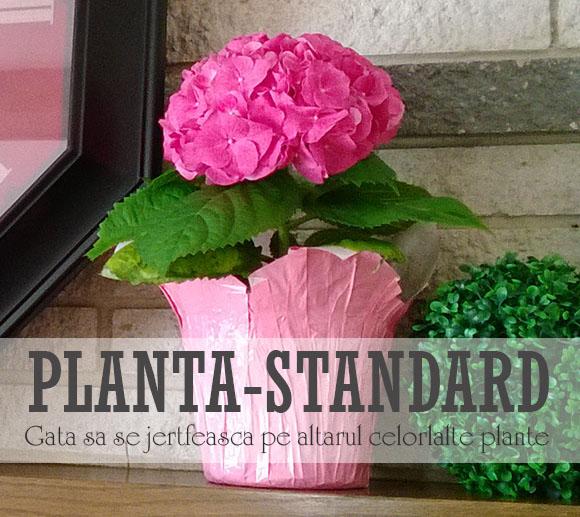 floarea-standard