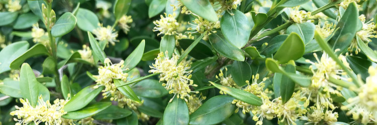 flori-de-merisor