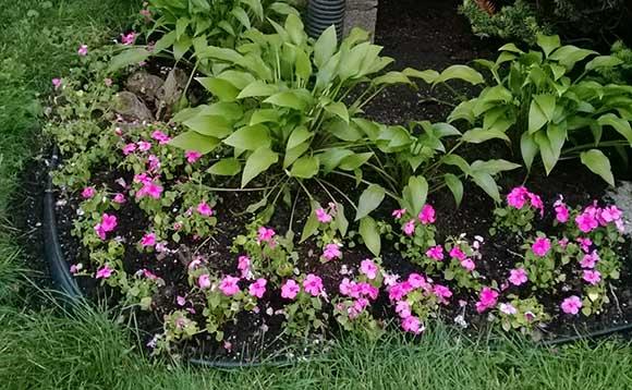 flori-roz-colt