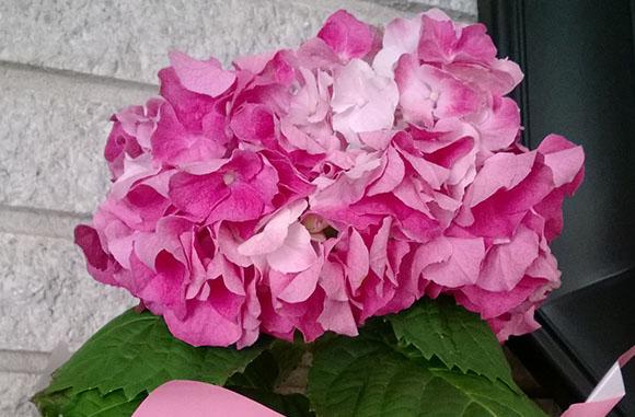 hortensia-uscata