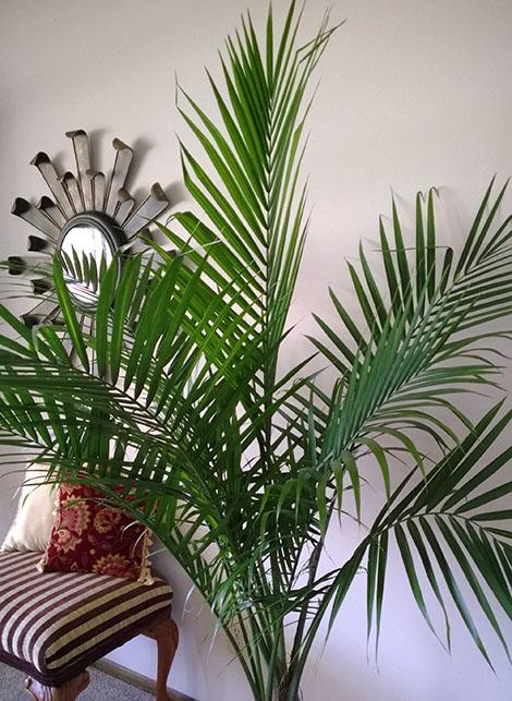 palmier-fericit