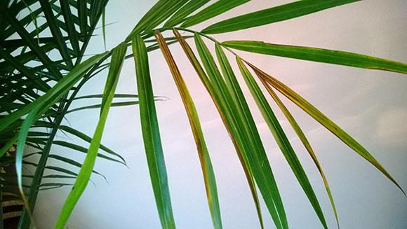 palmier-uscat
